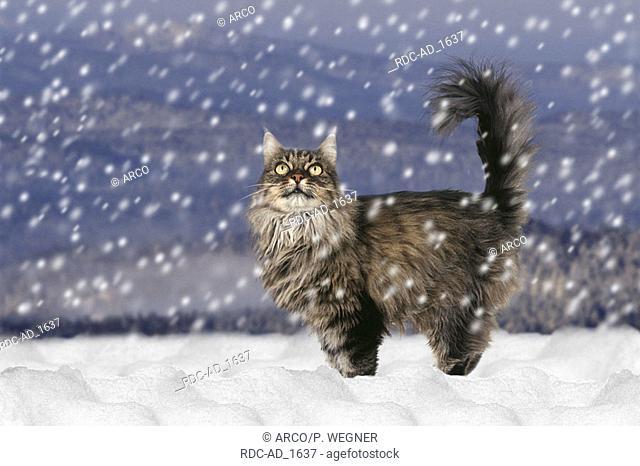 Norwegian Forest Cat in falling snow side