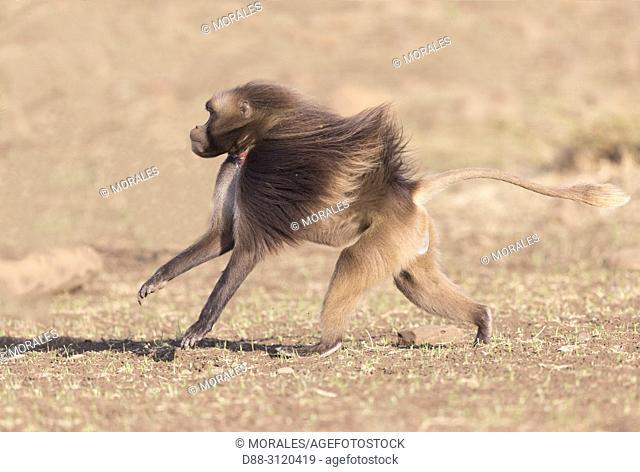 Africa, Ethiopia, Rift Valley, Debre Libanos, Gelada or Gelada baboon (Theropithecus gelada), male running