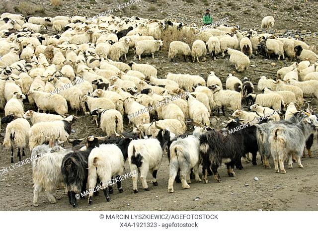 Herd of sheep and goats in Himalaya, Nepal