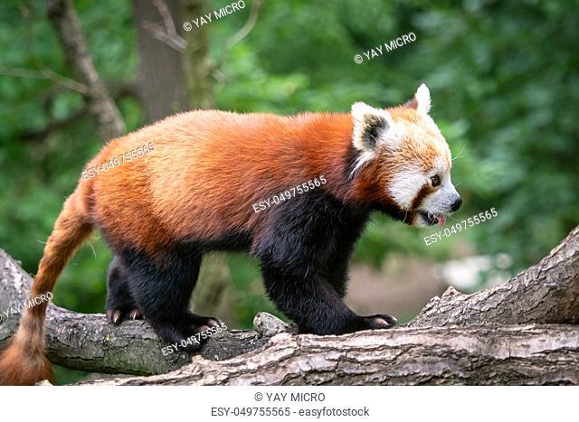 Red panda (Ailurus fulgens) on the tree. Cute panda bear in forest habitat