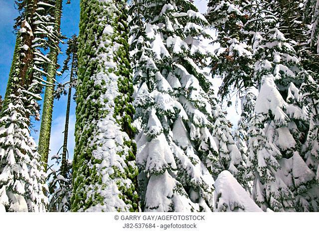 Snow on tree branches, Yosemite Valley, California, USA