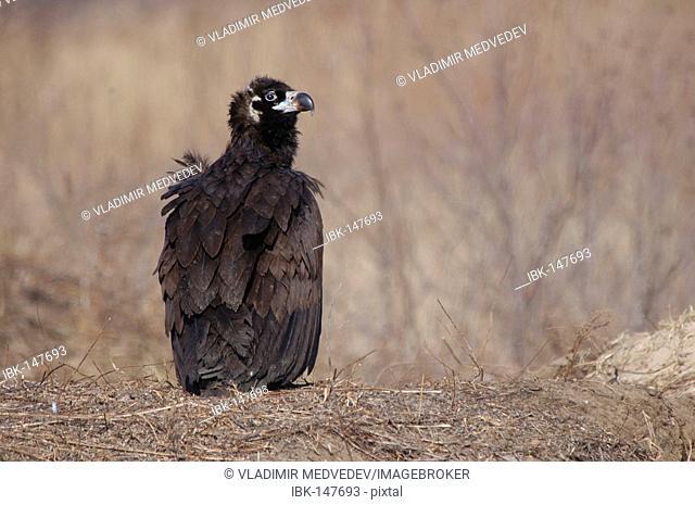 Black Vulture / Aegypius monachus, Ussuriland, Far East of Russia