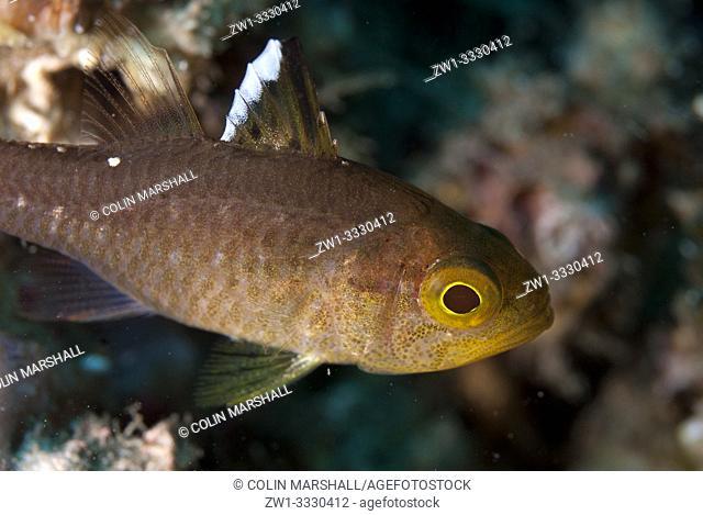 Frostfin Cardinalfish (Ostorhinchus hoevenii, Apogonidae family), Retak Larry dive site, Lembeh Straits, Sulawesi, Indonesia