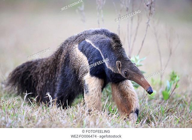 Brazil, Mato Grosso, Mato Grosso do Sul, Pantanal, giant anteater