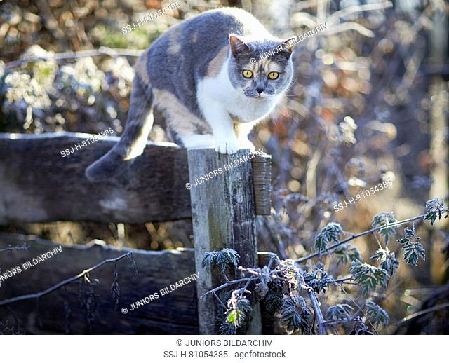 British Shorthair. Adult cat on a frosty morning in a garden, standing on a wooden fence. Germany