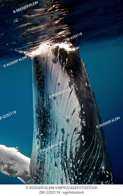Humpback Whale,megaptera novaeangliae; this sequence of fours shots show ann in water view of a whale getting ready to do a spy hop