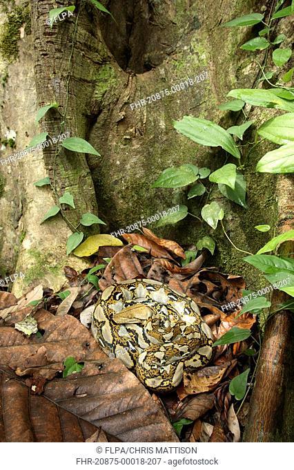 Reticulated Python Python reticulatus adult, coiled on rainforest floor, Sukau River, Sabah, Borneo, Malaysia