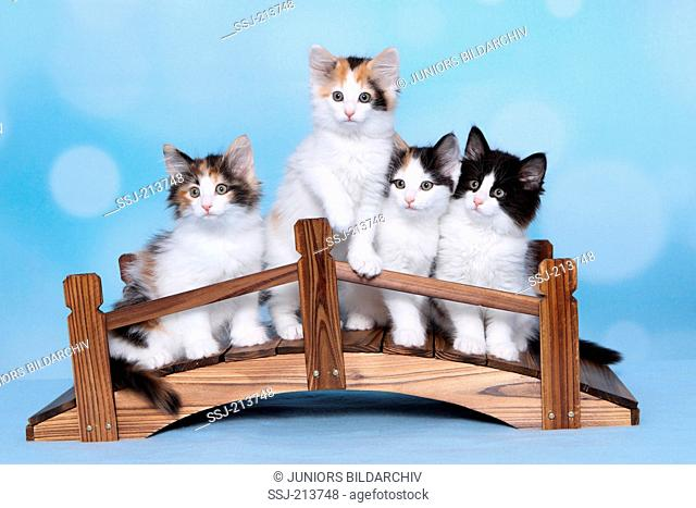 Norwegian Forest Cat. Four kittens on a wooden bridge. Studio picture against a blue background. Germany