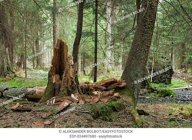 Springtime wetland stand of Bialowieza Forest with broken alder tree in foreground,Bialowieza Forest,Poland,Europe