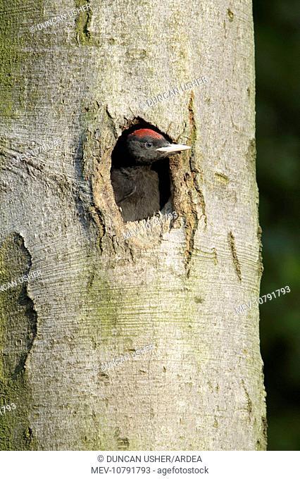 Black Woodpecker - chick at nest entrance (Dryocopus martius)