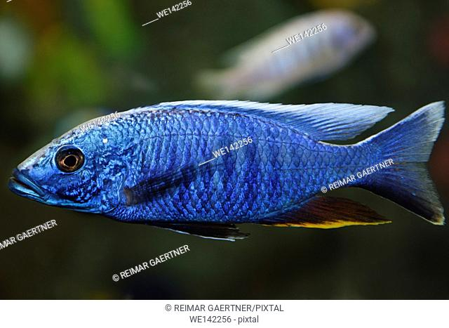 Electric Blue Hap African Cichlid in a freshwater aquarium