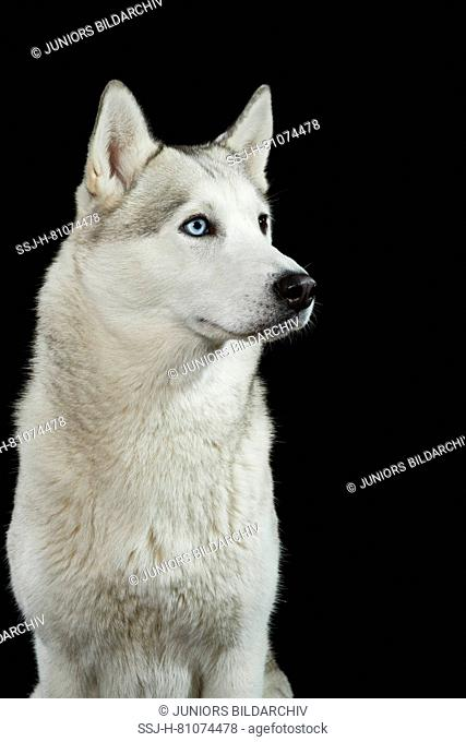 Siberian Husky. Portrait of adult dog against a black background. Germany