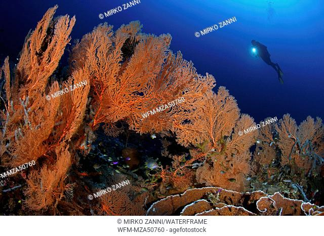 Seafan in Coral Reef, Melithaea sp., Walea, Sulawesi, Indonesia