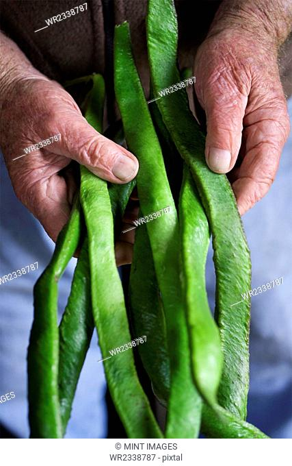 A man holding a handful of long vivid green runner beans, fresh vegetables