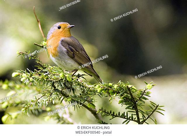 Robin perched on branch (Erithacus rubecula), close-up
