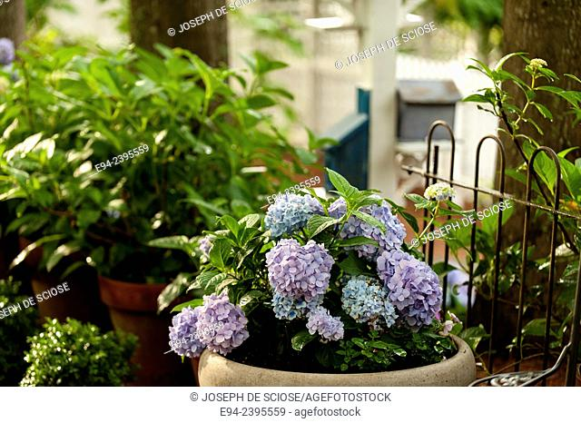 A flowering hydrangea in a container in a garden.Georgia USA