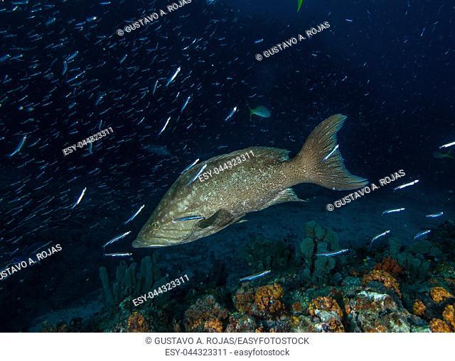 1 fish alone underwater -Mycteroperca acutirostris- los roques venezuela