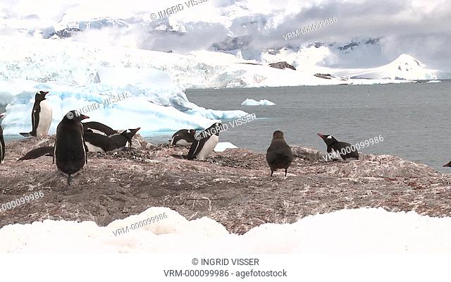 Gentoo penguin Pygoscelis papua small colony on rocks, great skua Stercorarius antarctica approaches. PRMatory behaviour