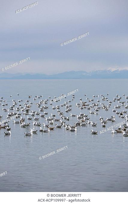 A large flock of seagulls relaxes in the water at Kye Bay, The Comox Valley