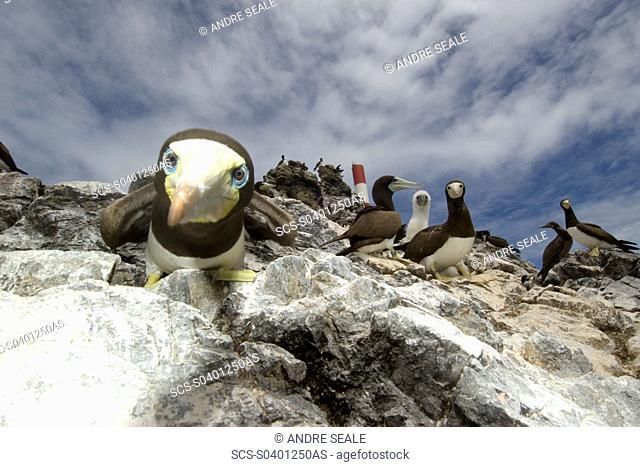 Brown boobies, Sula leucogaster, St Peter and St Paul's rocks, Brazil, Atlantic Ocean