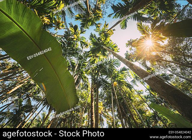 Goa, India. Big Green Leaves Of Banana Grass On Background Tall Palm Tree And Blue Sky In Summer Sunny Day. Bottom View. Wide Angle