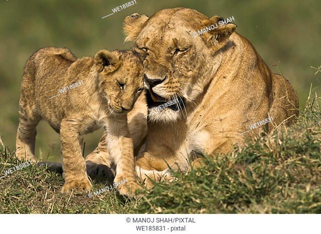 Lioness greeting and grooming cub, Masai Mara National Reserve, Kenya