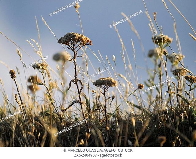 Summer dry herbs. Montseny Natural Park. Barcelona province, Catalonia, Spain