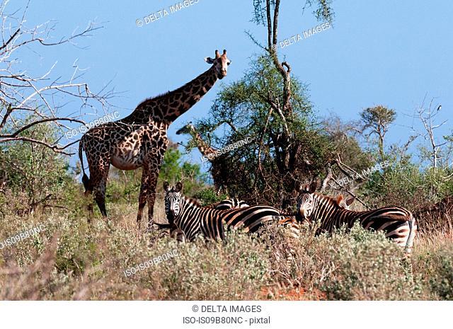 Masai Giraffes (Giraffa camelopardalis), Lualenyi Game Reserve, Tsavo, Kenya