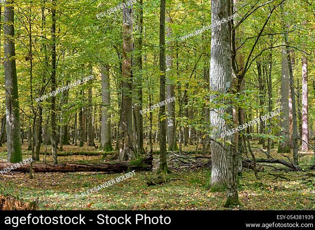 Old and huge english oaks in autumn with broken spruce in foreground, Bialowieza Forest, Poland, Europe