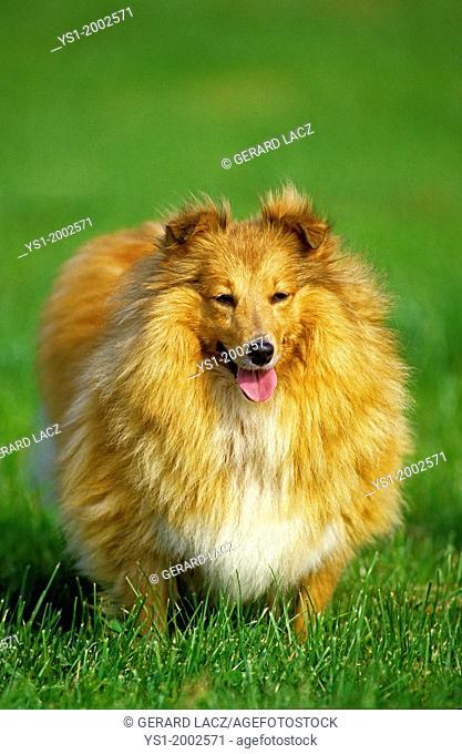 Shetland Sheepdog, Dog standing on Grass