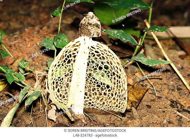 Stinkhorn fungus called Maiden's Veil or the Veiled Stinkhorn (Dictyophora sp.) on forest floor in Thailand forest during rainy season