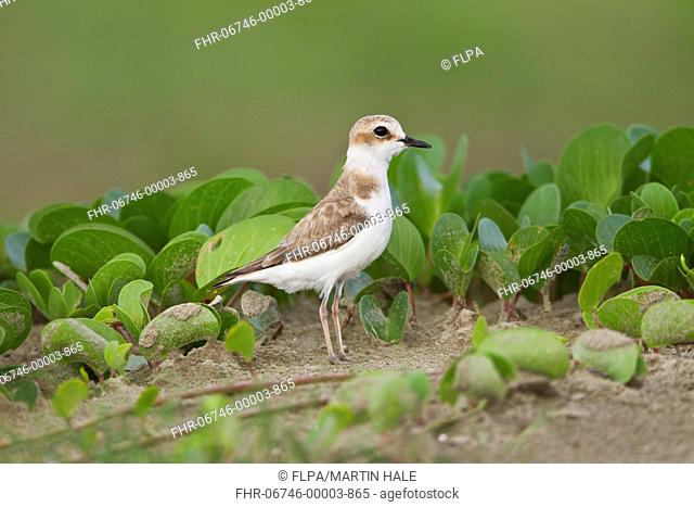White-faced Plover (Charadrius dealbatus) adult female, standing on sand, Guangdong Province, China, June