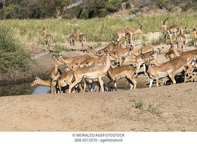 Africa, Southern Africa, South African Republic, Mala Mala game reserve, Impala (Aepyceros melampus), group of females with a male