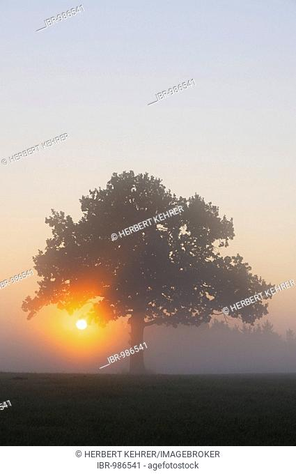 Pedunculate Oak (Quercus robur) at sunrise