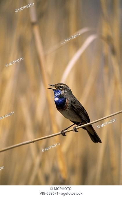 Weisssterniges Blaukehlchen (Luscinia svecica cyanecula) Blue throat ° Hortobagy Nationalpark, åUngarn, Hungary - Hortobagy, Hortobagy Nationalpark