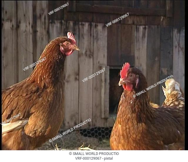 Close up of free range chickens. U.K