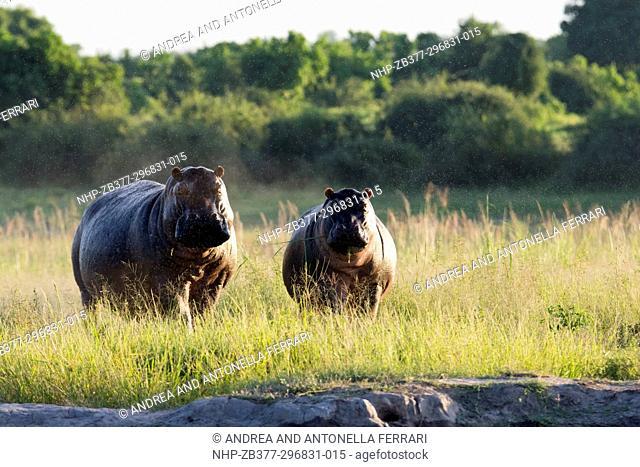 Common hippopotamus Hippopotamus amphibius, Chobe river, Chobe National Park, Botswana