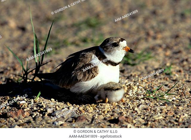 Piping Plover brooding Chicks (Charadrius melodus) Lake McConaughy, NE