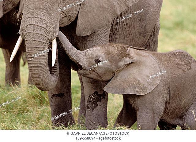 Africa, Kenya, Amboseli NP, African Elephant mother and baby (Loxodonta africana)