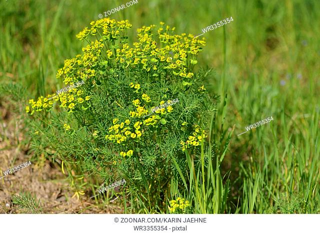 Euphorbia cyparissias, the cypress spurge. Zypressen-Wolfsmilch Strauch