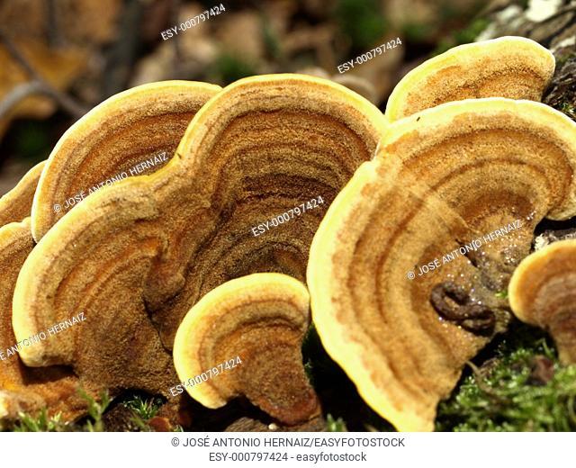 gloeophyllum saepiarium mushroom on a tree