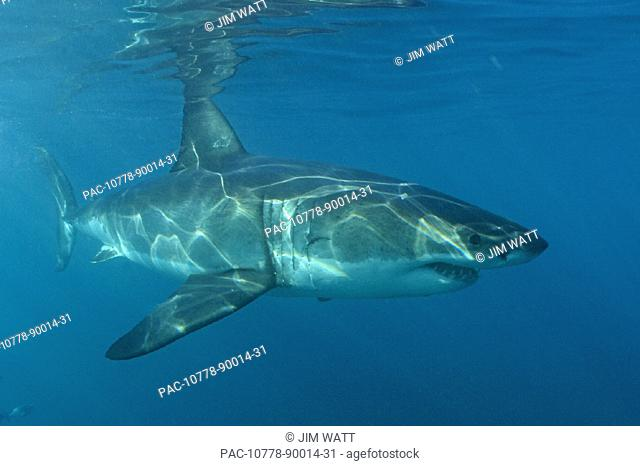 Great White Shark underwater near surface in South Africa [For use up to 13x20 only]