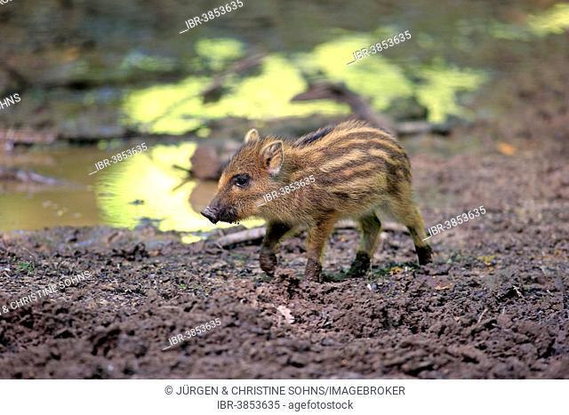 Wild Boar (Sus scrofa), piglet, Baden-Württemberg, Germany