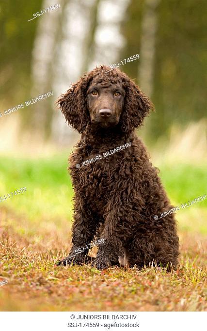 Irish Water Spaniel. Puppy sitting on grass