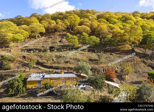 Farmhouse and sweet chestnut trees (Castanea sativa) in autumnal colours in November. Aerial view. Drone shot. Genal river valley, Málaga province, Andalusia