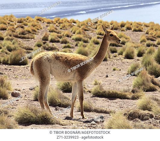 Chile, Antofagasta Region, Andes Mountains, Laguna Miscanti, vicuna, vicugna vicugna,