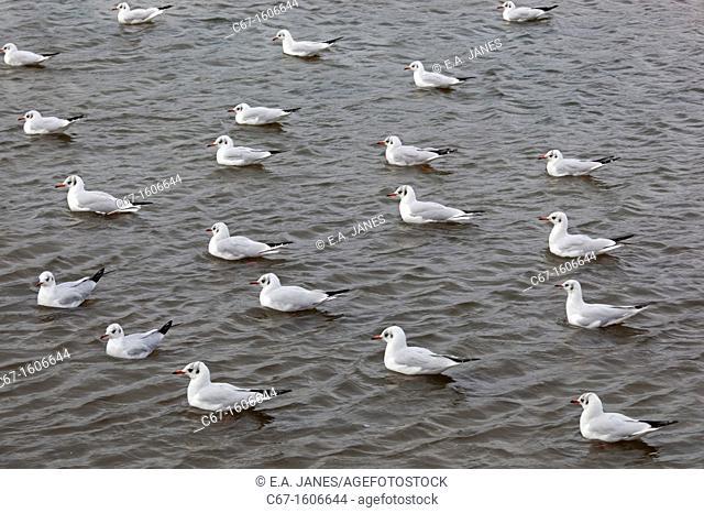 Black Headed Gulls Larus ridibundus swimming