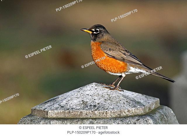 American robin (Turdus migratorius) perched on stone