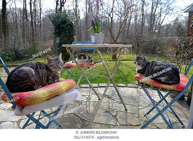 Domestic cat. Three adults lying on chairs standing around a garden table. Germany