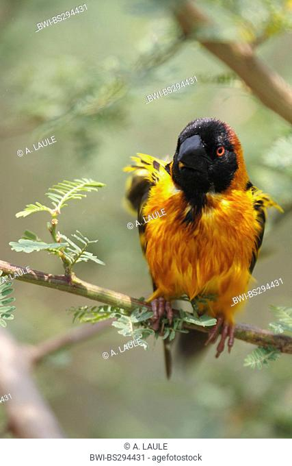 Village weaver, Spotted-backed weaver (Ploceus cucullatus, Textor cucullatus), sitting on a twig after bathing, Uganda, Lake Victoria